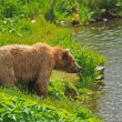 Stock Photo: Kodiak Bear Staring across pond
