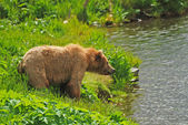 Kodiak Bear Staring across the pond — Stock Photo