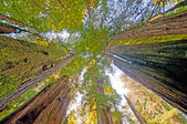 Looking up at Forest Giants — Foto Stock