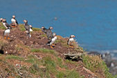 Puffins on a Nesting Island — Stock Photo