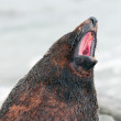 Fur Seal Voicing its Opinion — Stock Photo