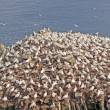 Sea Birds on a Nesting Island — Stock Photo #22242797