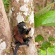 Tamarin Feeding in a Rain Forest Tree — Foto Stock