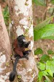 Tamarin Feeding in a Rain Forest Tree — ストック写真