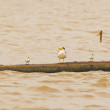 Stock Photo: Terns on log in Amazon