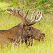 Moose in the Meadow — Stock Photo