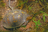 Box Turtle in a Deciduous Forest — Stockfoto