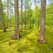 Hidden Cypress Forest on Sunny Day — Stock Photo #26821355