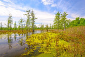 Cypress swamp on a Sunny Day — Stock Photo