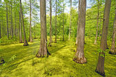 Hidden Cypress Forest on a Sunny Day — Stock Photo