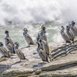 Sptted Shags on a coastal Rock — Stock Photo