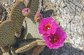 Beavertail Cactus in the Desert — Stock Photo
