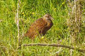 A Weka in the Wilderness — Stock Photo