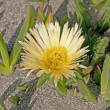 Coastal Flower on a Sandy Beach — Stock Photo