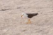 Wandering Gull on a sea coast — Stock Photo