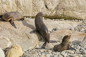 Young Fur Seals Basking in the Sun — Stock Photo
