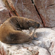 South American Sea Lion scratching on a rock — Stock Photo