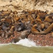 Sea Lion Colony ona remote Island — Stock Photo