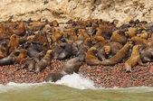 Морской лев колонии оны удаленный остров — Стоковое фото