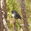 Stock Photo: New Zealand Robin in wilds