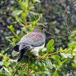 Stock Photo: New Zealand Pigeon in Wilds