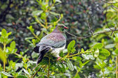 A New Zealand Pigeon in the Wilds — Stock Photo