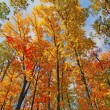 Fall Colors in the Canopy — Stock Photo