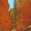 Isolated Pines in a Shaded Canyon Trail — Stock Photo