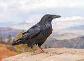 Common Raven on a rock ledge — Stock Photo