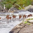 Common Mergansers swimming on Wilderness River — Stok Fotoğraf #32559521