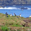 Puffins on a nesting island in summer — Stock Photo