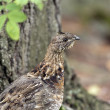 图库照片: Ruffed Grouse in North Woods