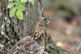 Ruffed Grouse in the North Woods — Stock Photo