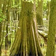 Постер, плакат: Trunk of a Cypress Tree in a Swamp