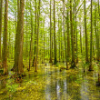 Cypress Swamp in Spring — Stock Photo