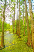 Quiet Pond in a Cypress Swamp — Stock Photo