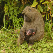Olive Baboon Mother and Baby — Stock Photo #34758465