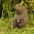 Olive Baboon Mother and Baby — Stock Photo