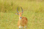 Uganda Kob in the Savannah — Stock Photo