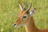 Oribi on the Plains of Africa — Foto Stock