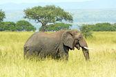 African Elephant in the Savannah — Stock Photo