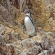 Humboldt Penguin on the Peruvian Coast — Stock Photo