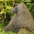 Male Olive Baboon in the Jungle — Stock Photo