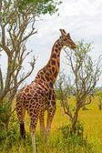 Jirafa de rothchild comer de un árbol — Foto de Stock