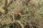 Malachite Kingfisher in a tree — Stock Photo