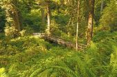 Hidden Bridge in the Redwoods — Stock Photo
