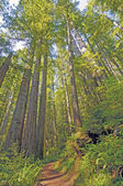 Shaded Trail Through the Redwoods — Stock Photo