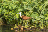 African Jacana in the Wetlands — Stock Photo