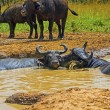Male and Female Cape Buffalo in a Water Hole — Stock Photo #40917721