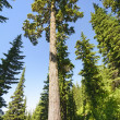 Tall Pine in the Mountains — Stock Photo #43628371